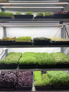 HortiGreen LED grow light perfect for leaf vegetable and microgreens