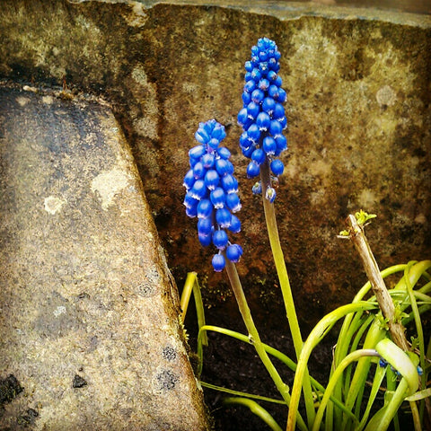 grape hyacinths copyright rachel lucie hebden bridge