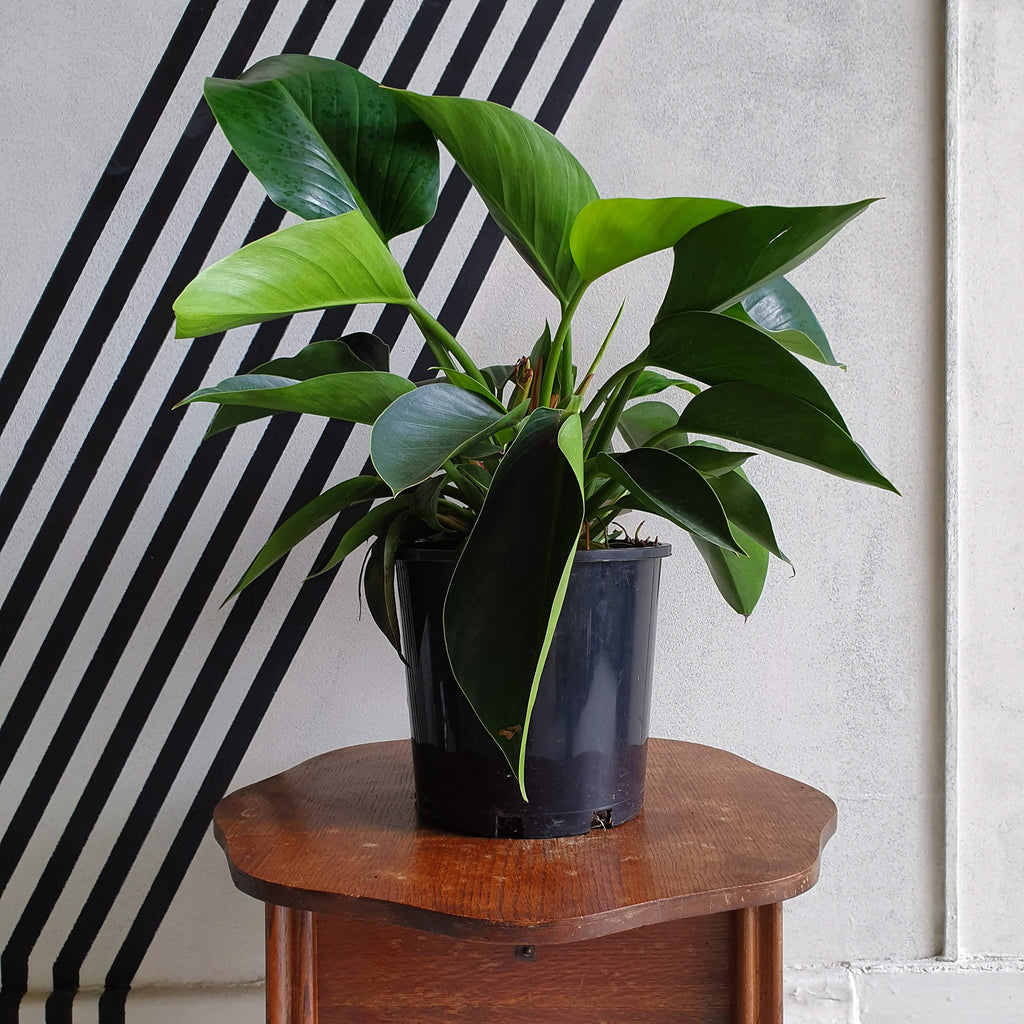 Philodendron 'Chinese Congo' - Dark green, large glossy leaves in black plastic pot