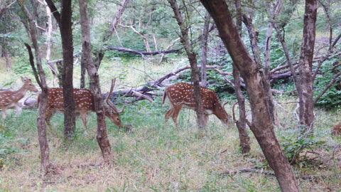 Spotted Deer_Chital_Ranthambore