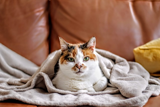 Cat wrapped in blanket on brown leather sofa