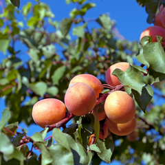 Apricot Trees with bright blue sky