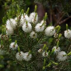 Tea Tree Flower and plant.