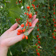 wpmens hand holding red goji berries