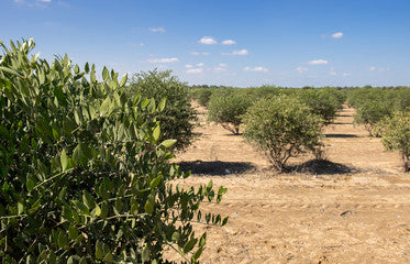 Jojoba Plant Fields