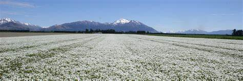 Field of meadowfoam flowers, snow capped mountains and blue sky