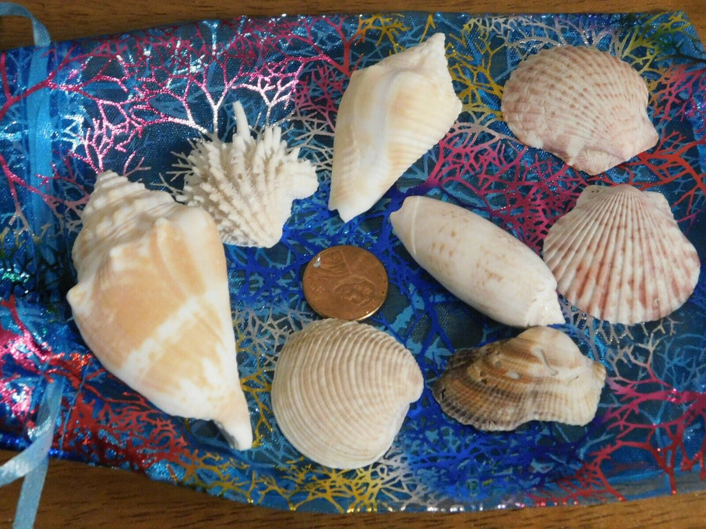 Seashell Variety 8 Random Florida Seashells Nautical