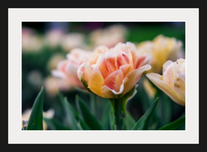 Soft Tulips, Boston - Sacred Lotus Gifts