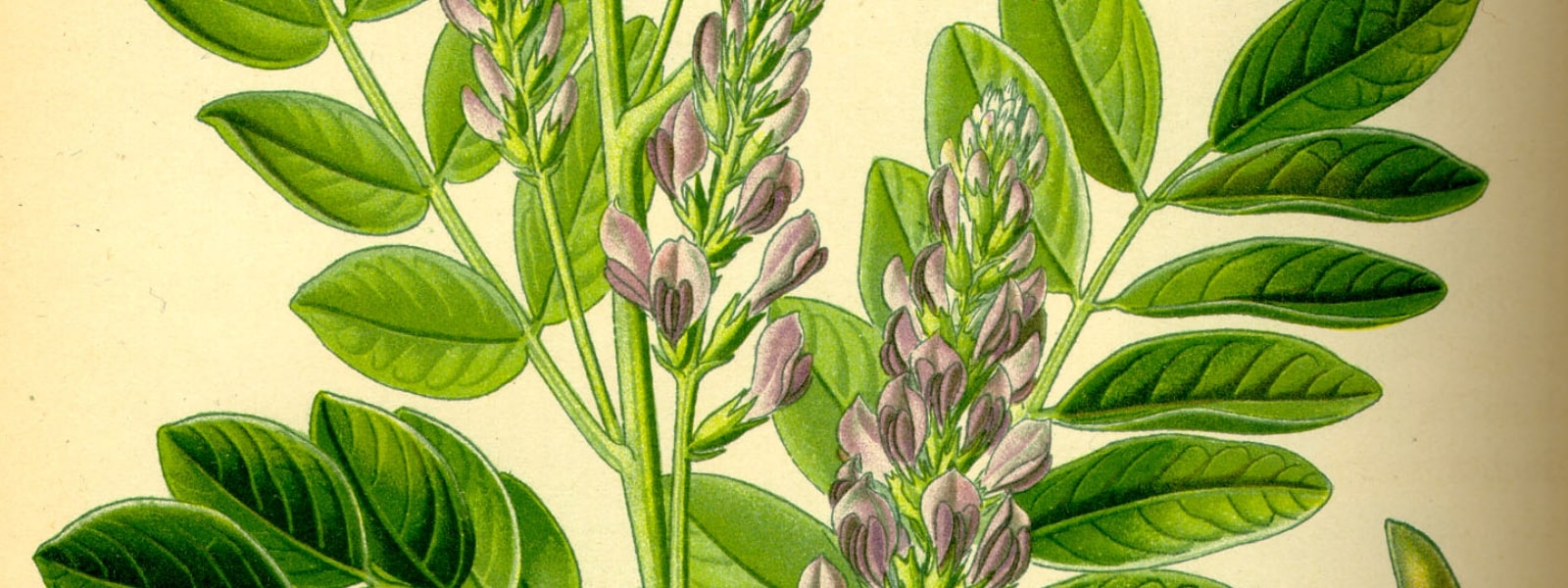Liquorice plant health benefits