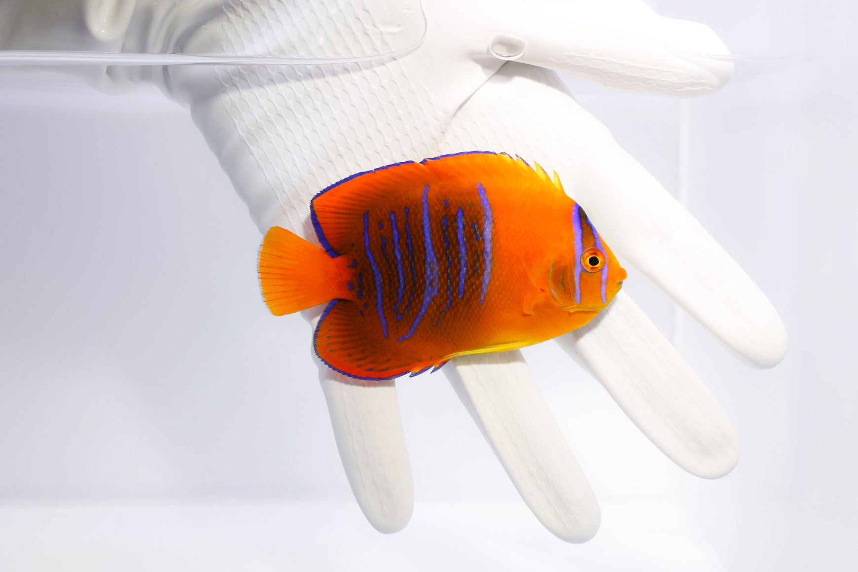 Stunning Clarion Angelfish come back to the aquarium industry!