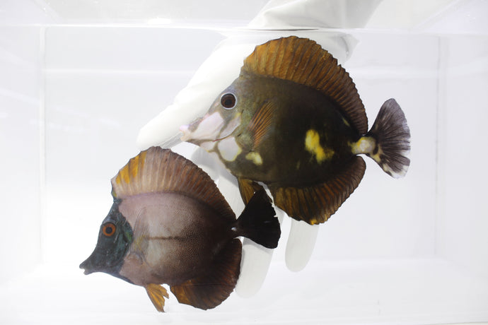 The Tricolor Koi Scopas Tang Pair