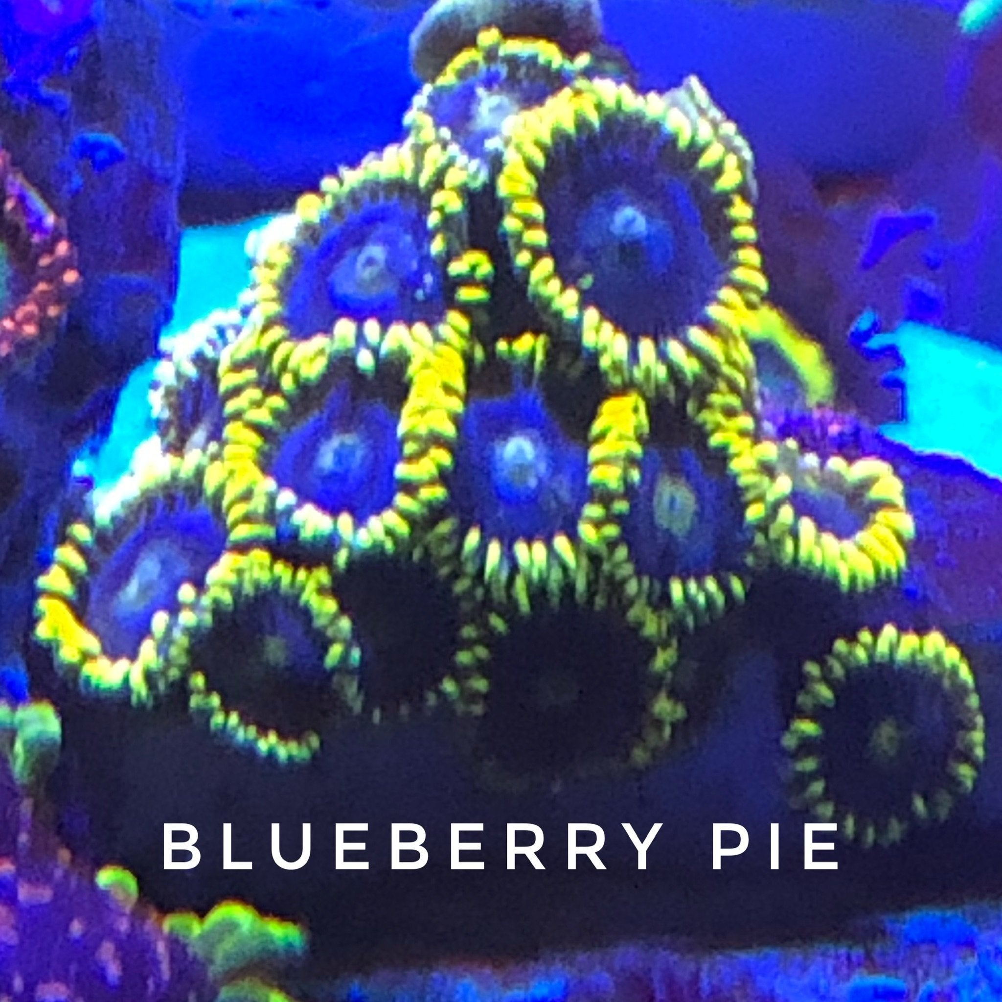 Blueberry Pie/Blueberry Field