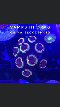Vamps in Drag/VW Bloodshot (Designer)