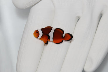Black Photon Clownfish (Amphiprion ocellaris X Amphiprion percula)