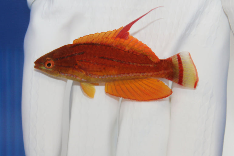 Carpenter's Flasher Wrasse (Paracheilinus carpenteri)