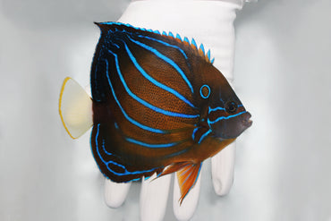 Blue Ring Angelfish (Pomacanthus annularis)
