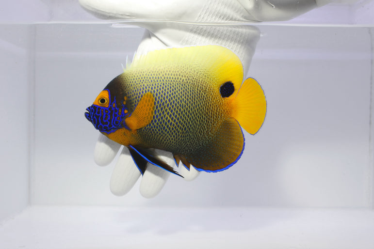 Blue Face Angelfish (Pomacanthus xanthometopon)