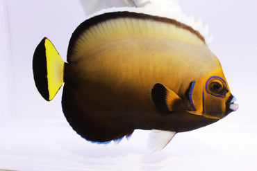Conspicuous Angelfish (Chaetodontoplus conspicillatus) Captive Bred