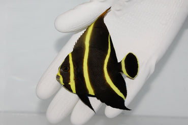 French Angelfish (Pomacanthus paru) (Pre-Order)