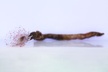 Pink Feather Duster (Bispira sp.)