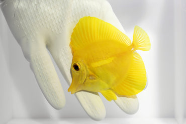Yellow Tang (Zebrasoma flavescens ( Pre-Order)  Available 2/10