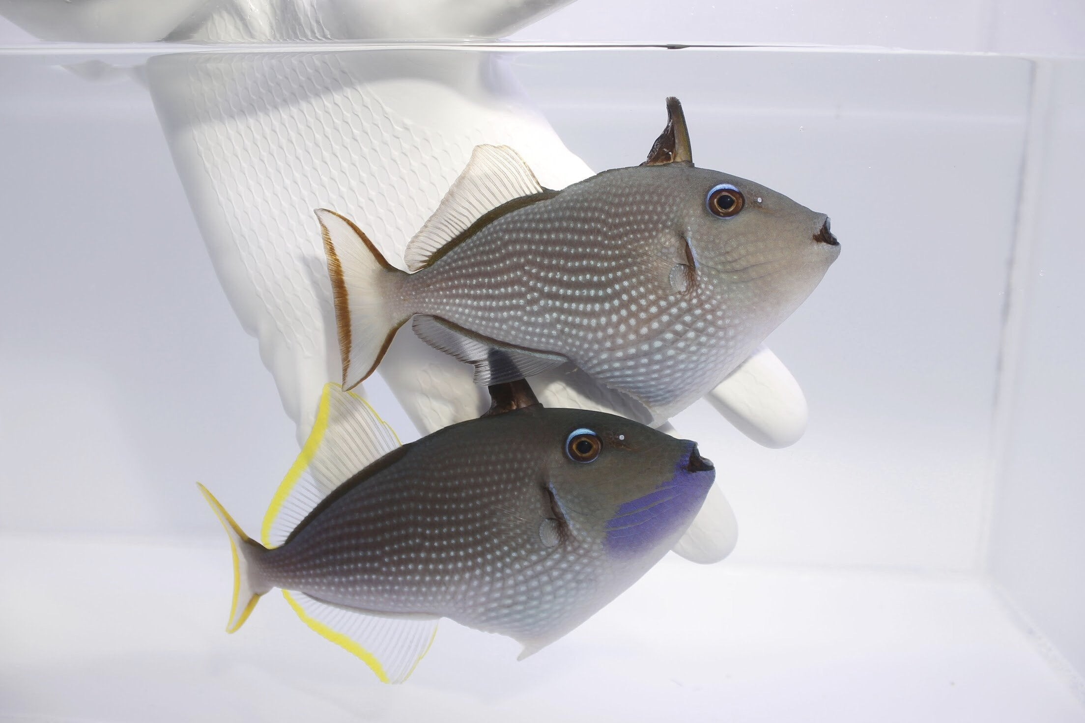 Blue Throat Triggerfish (Xanthichthys auromarginatus) (Pre-Order)