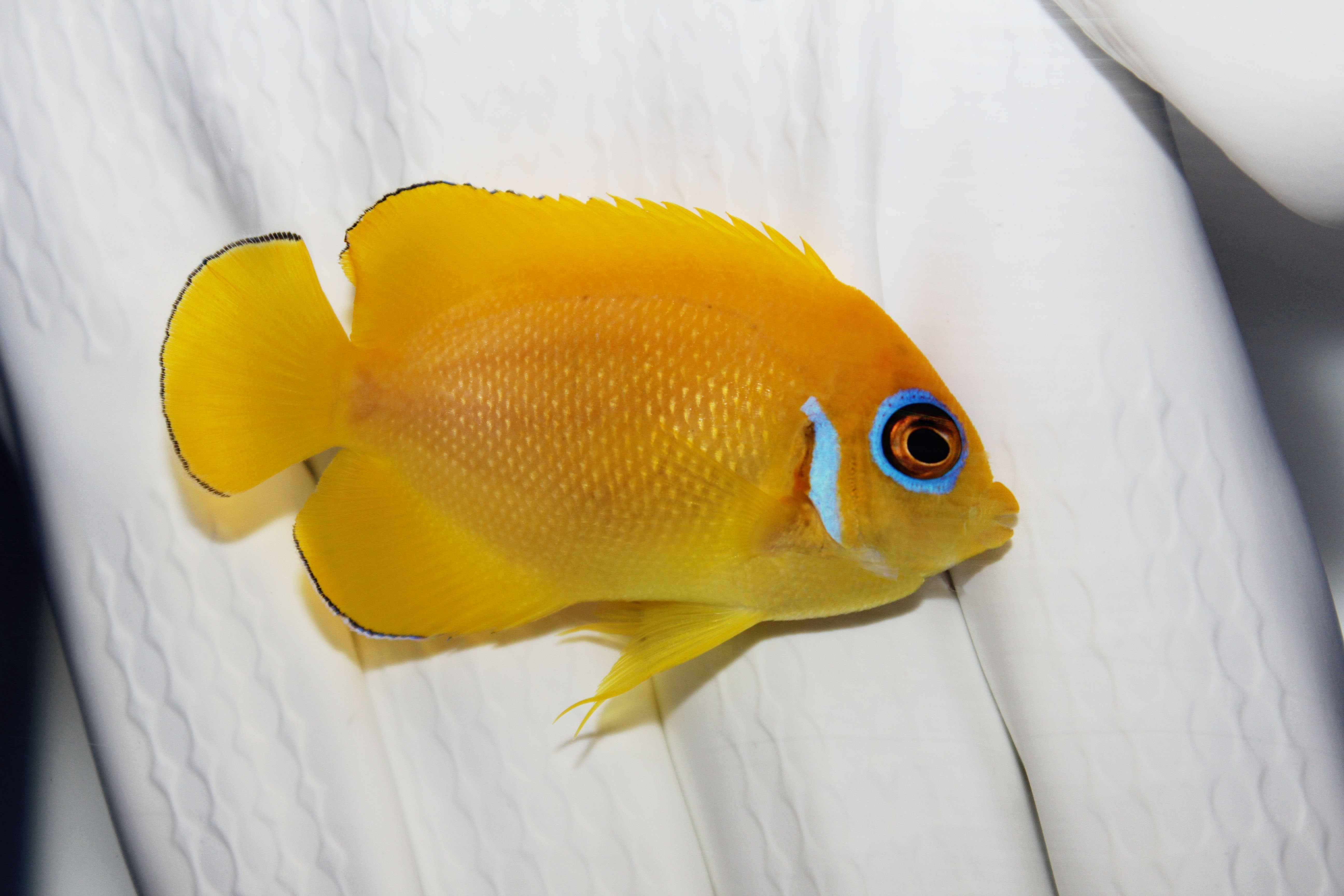 Lemon Peel Angelfish (Centropyge flavissima)