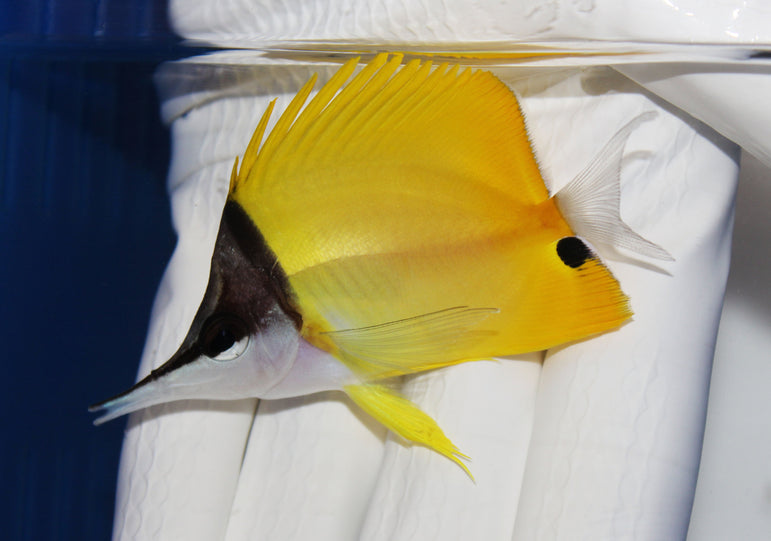 Longnose Butterflyfish (Forcipiger flavissimus)