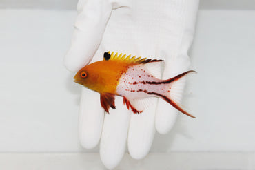 Lyretail Hogfish (Bodianus anthioides) (Pre-Order)