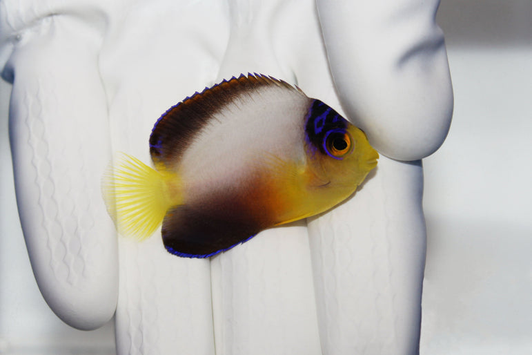 Multicolor Angelfish (Centropyge multicolor)