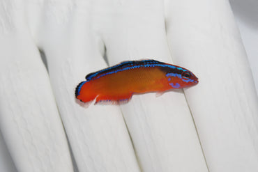 Neon Dottyback (Pseudochromis aldabraensis) (Pre-Order)