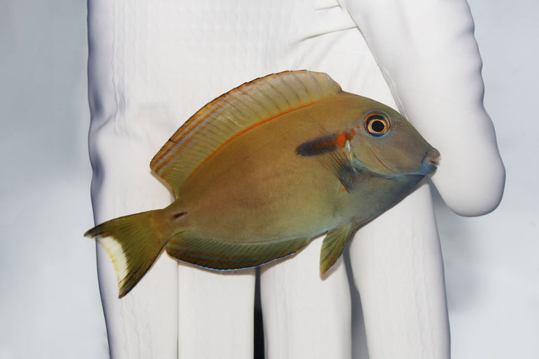 Orange Shoulder Tang (Acanthurus olivaceus)