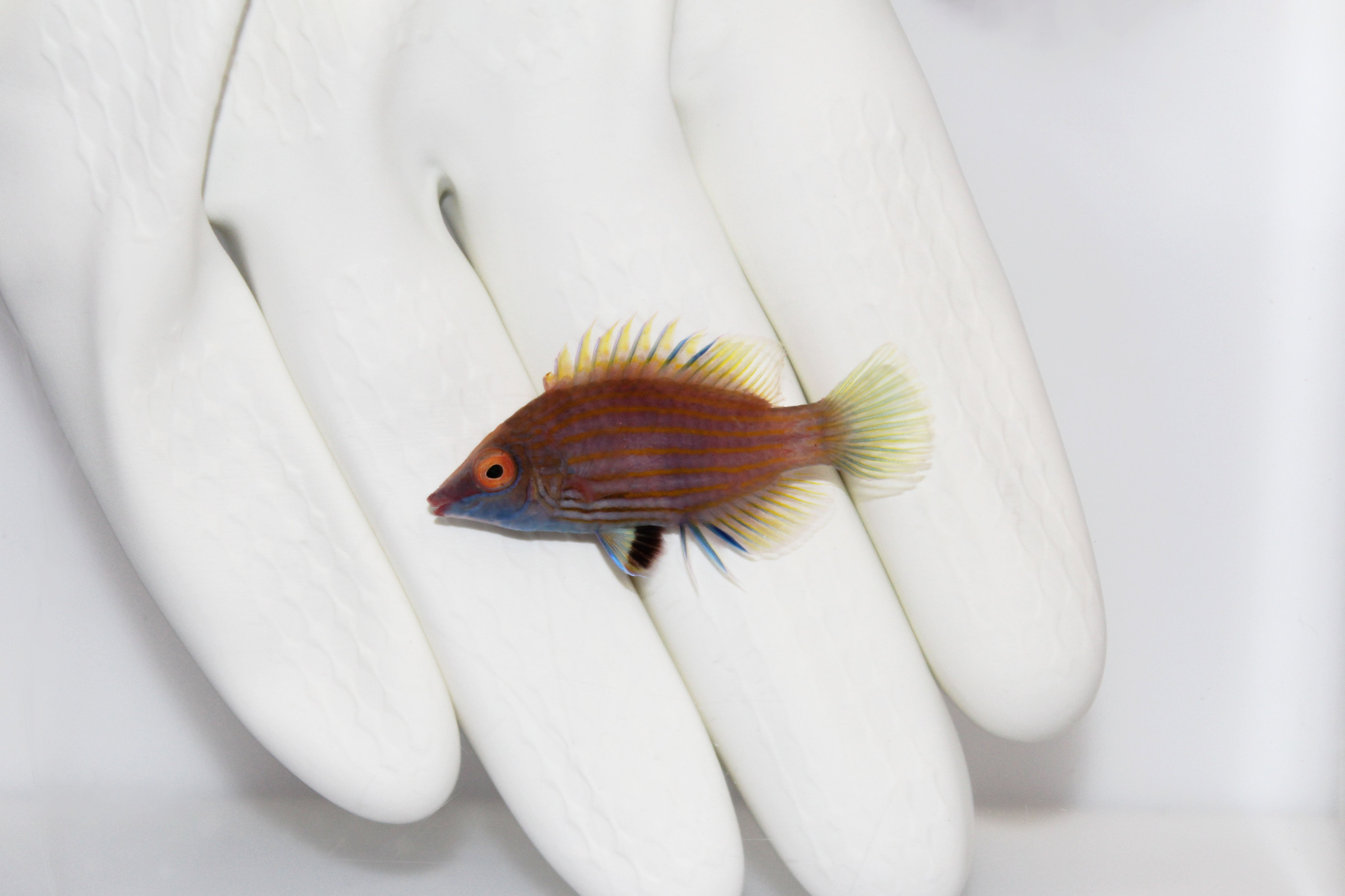 Pink Streaked Pygmy Wrasse (Pseudocheilinops ataenia) (Pre-Order)