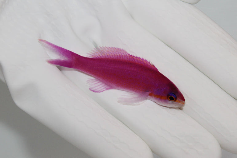 Purple Queen Anthias (Pseudanthias pascalus)