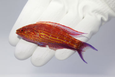 Royal Flasher Wrasse (Paracheilinus angulatus) (Pre-Order)