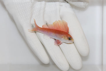 Sailfin Anthias (Rabaulichthys sp.)