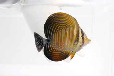 Sailfin Tang Red Sea (Zebrasoma desjardini)
