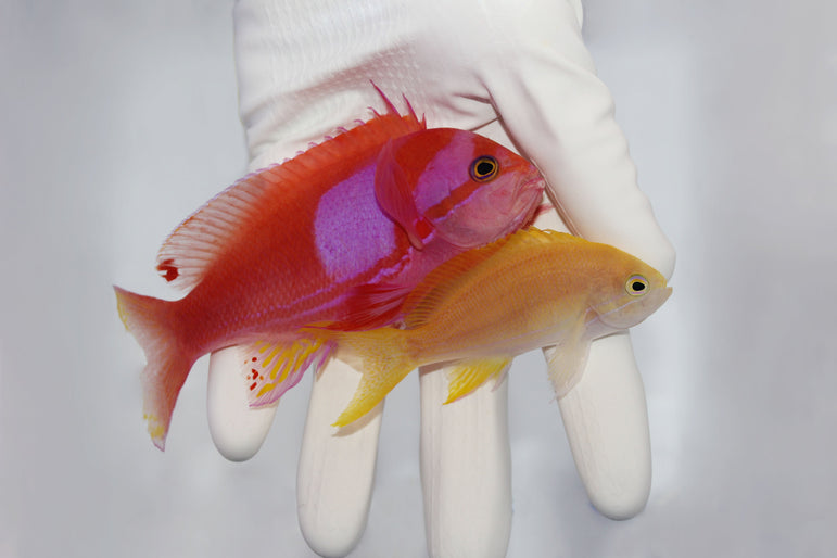 Purple Square Anthias (Pseudanthias pleurotaenia)
