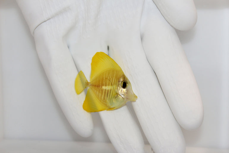Yellow Tang (Zebrasoma flavescens) Captive Bred