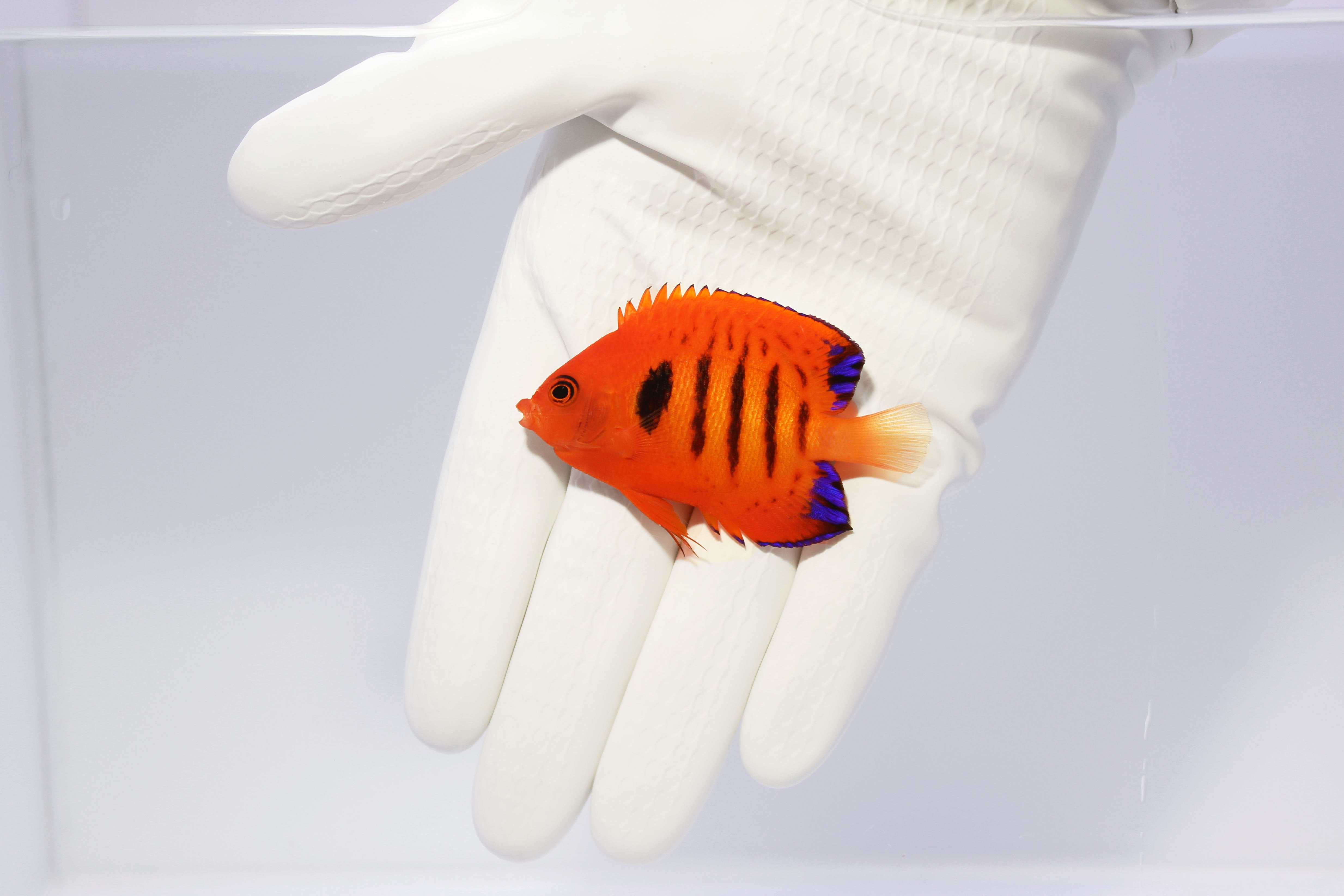 Flame Angelfish (Centropyge loricula) (Pre-Order)