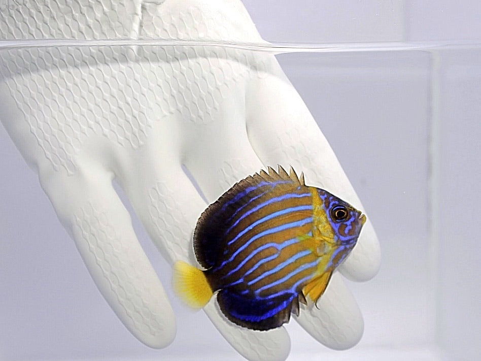 Blue Line Angelfish (Chaetodontoplus septentrionalis)