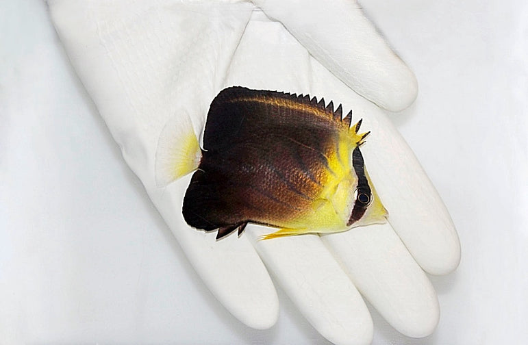 Blackburn's Butterflyfish (Chaetodon blackburnii)