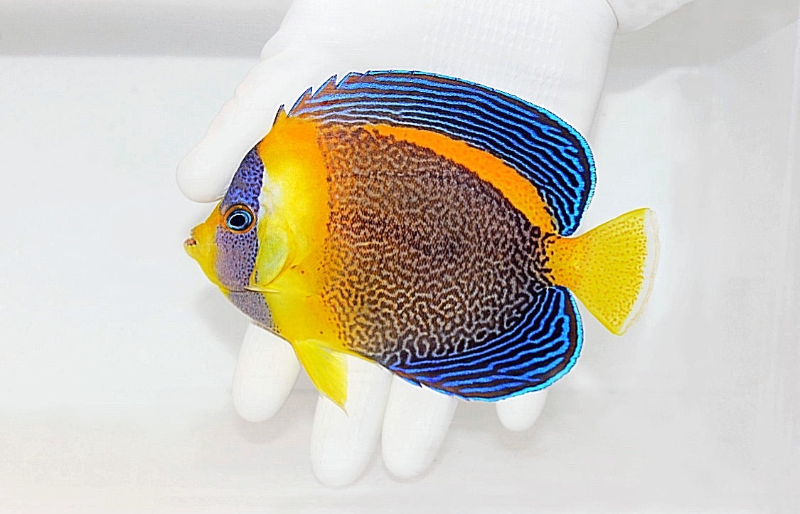 Scribbled Angelfish (Chaetodontoplus duboulayi) Female (Pre-Order)
