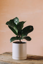Load image into Gallery viewer, Fiddle-Leaf Fig (Small)