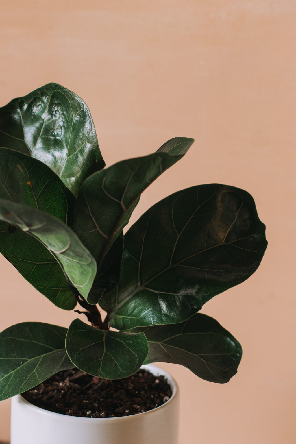 Fiddle-Leaf Fig (Small)