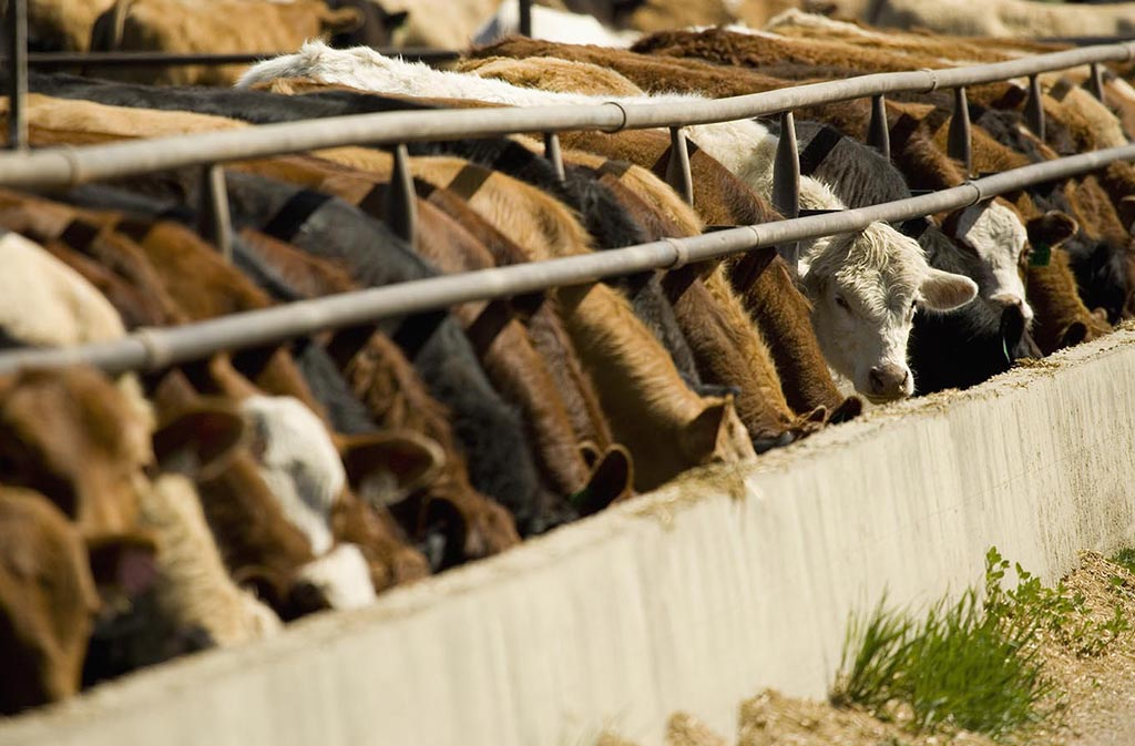 Cows in a row feeding. Cows are the source of bone broth protein powder.