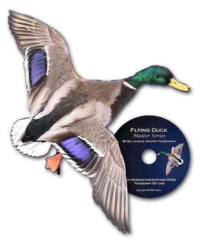 Image of Duck taxidermy school classes for beginners