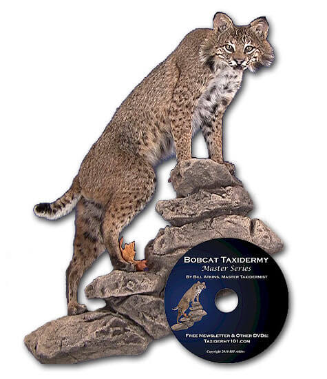 Bobcat Taxidermy school how to courses for beginners