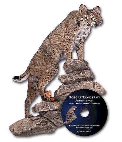 Image of Bobcat Taxidermy school how to courses for beginners