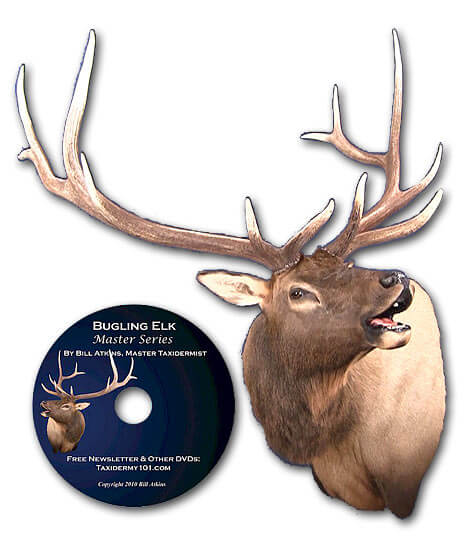 Elk Taxidermy school classes how to for beginners